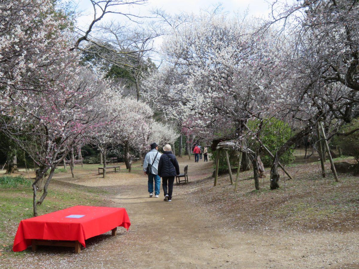 【清水公園梅まつり】混み合うことがなく落ち着いた雰囲気で楽しむことができる梅の花
