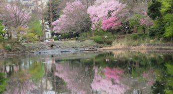 【三ツ池公園さくらまつり】穏やかな池の水面に映りこむ多品種の桜の花の彩り