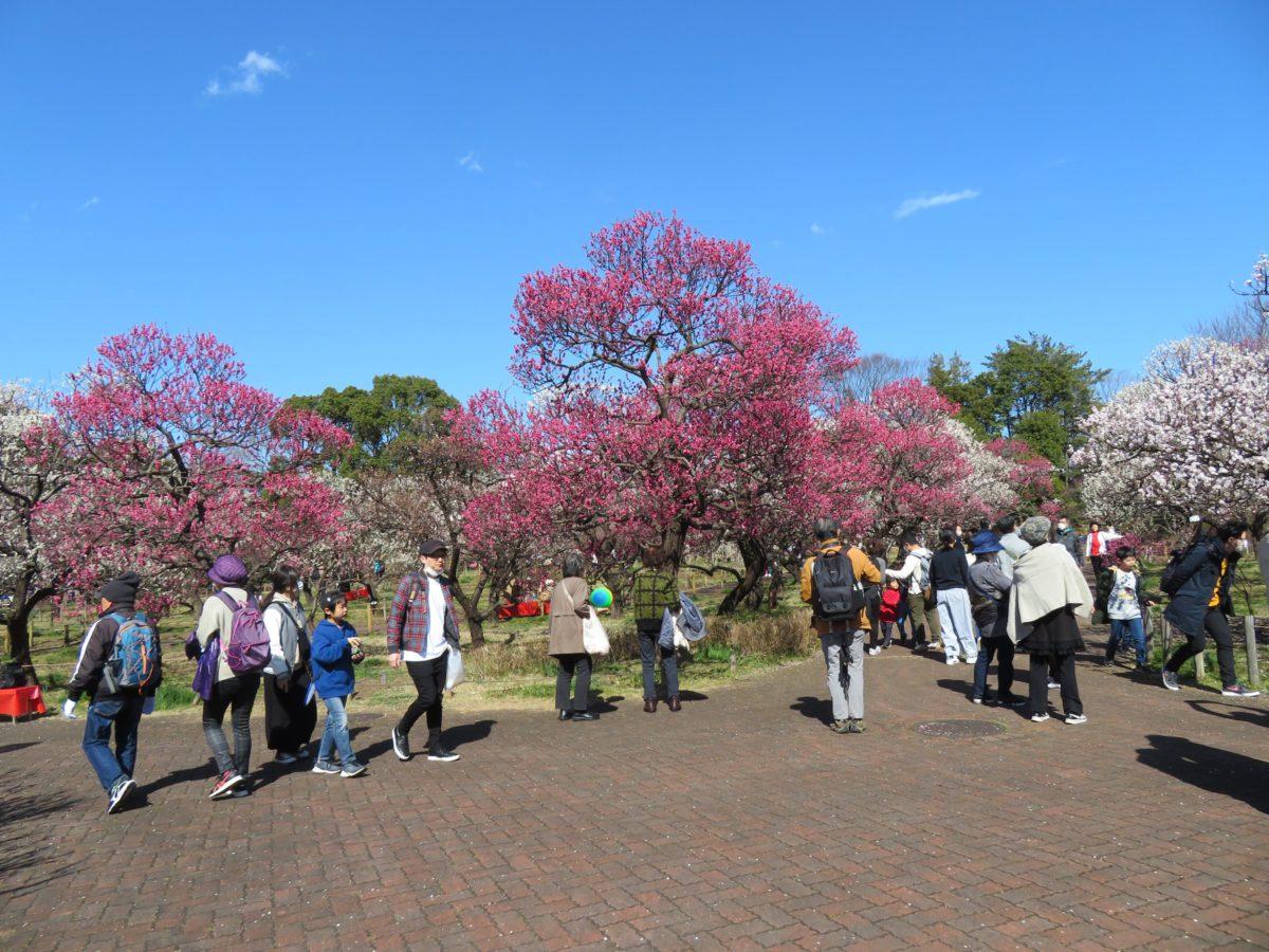 【郷土の森梅まつり】歴史的なロマンが満ち溢れる野外博物館に漂う梅の香り