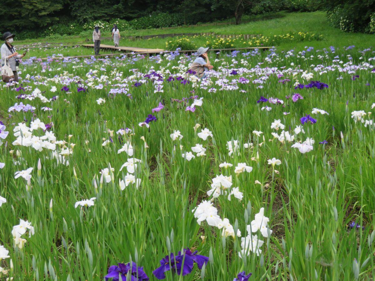 【佐倉城下町菖蒲まつり】日本の100名城で多種の花菖蒲を系統ごとに観察