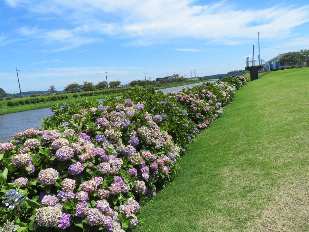 【ふるさと多古町あじさい祭り】多古米コシヒカリを育む栗山川を彩る町の花