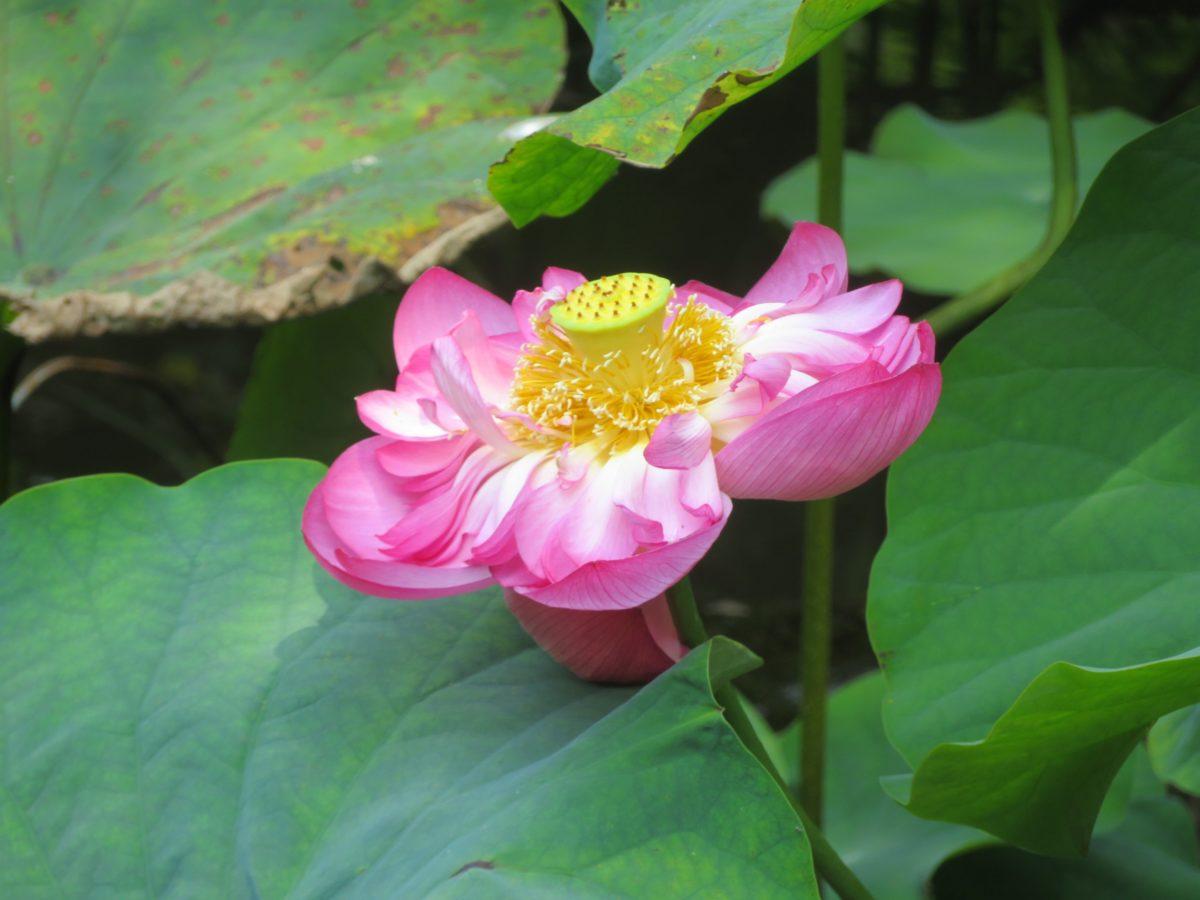 【光明寺観蓮会】海水浴客で溢れる鎌倉の湘南海岸沿いの材木座を彩る蓮の花
