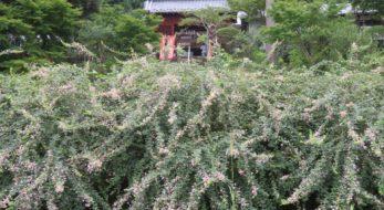 【円如寺・萩まつり】房総半島で名水が潤す久留里城下に秋を告げる萩の花