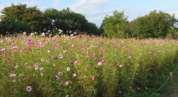 【国営昭和記念公園コスモスまつり】趣の異なる花を咲かせる秋の風物詩