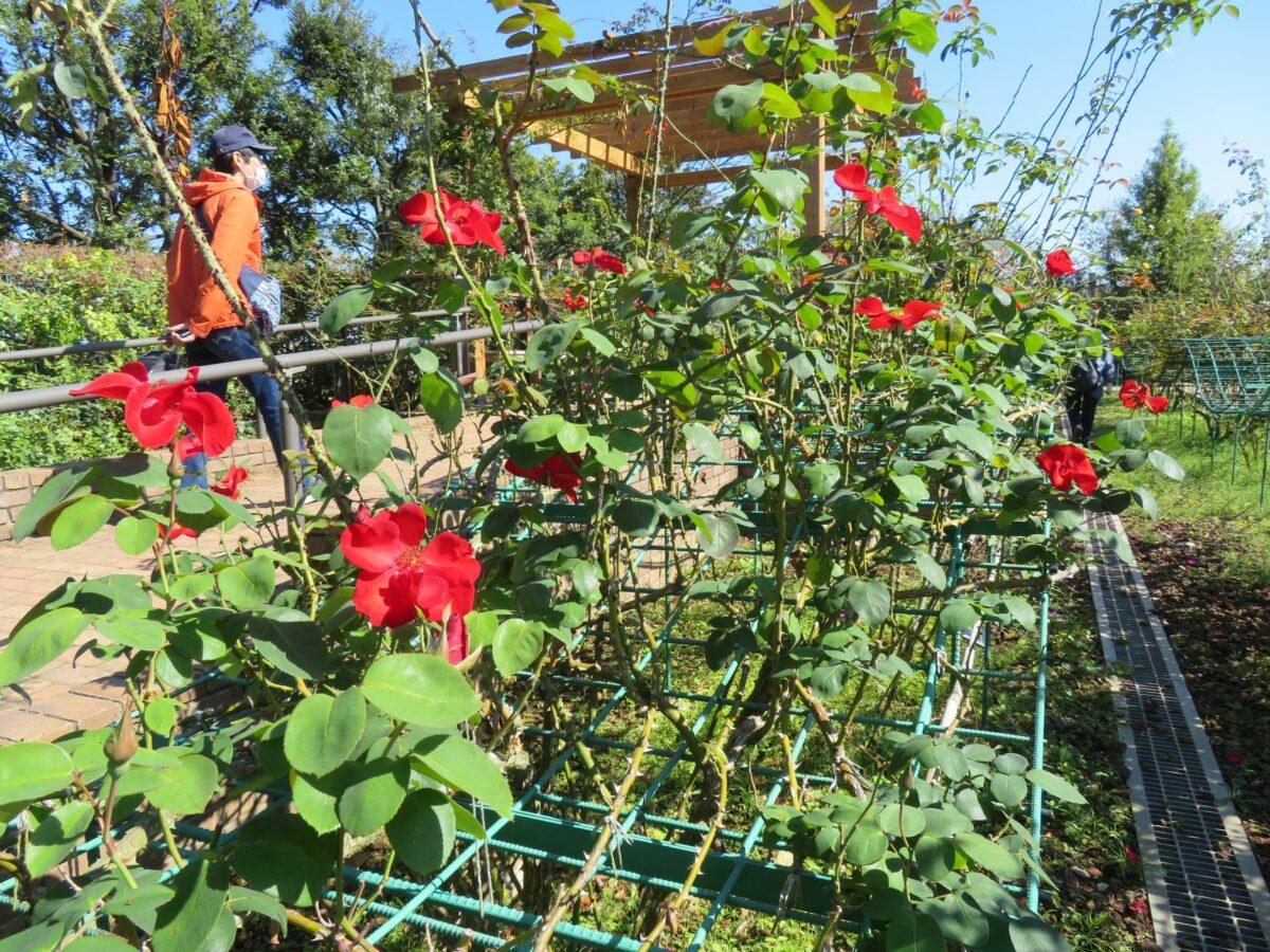 【ローズフェスティバル】数え切れない品種のバラが鑑賞できる花菜ガーデン