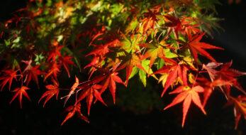 梅小路公園紅葉まつりで京都の秋を堪能!夕方からのライトアップが見どころ