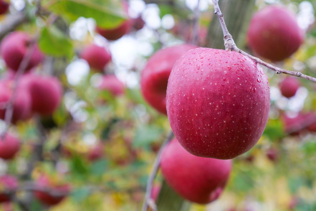 収穫量も品質も兼ね揃えた平川産りんご