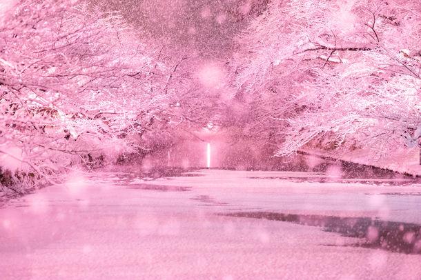 """弘前公園""""冬に咲くさくら"""""""