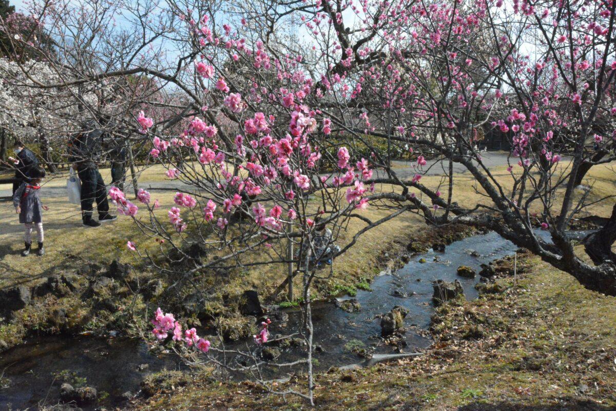 【渓流の梅園梅まつり】関東最多級の品種を誇る小田原フラワーガーデン