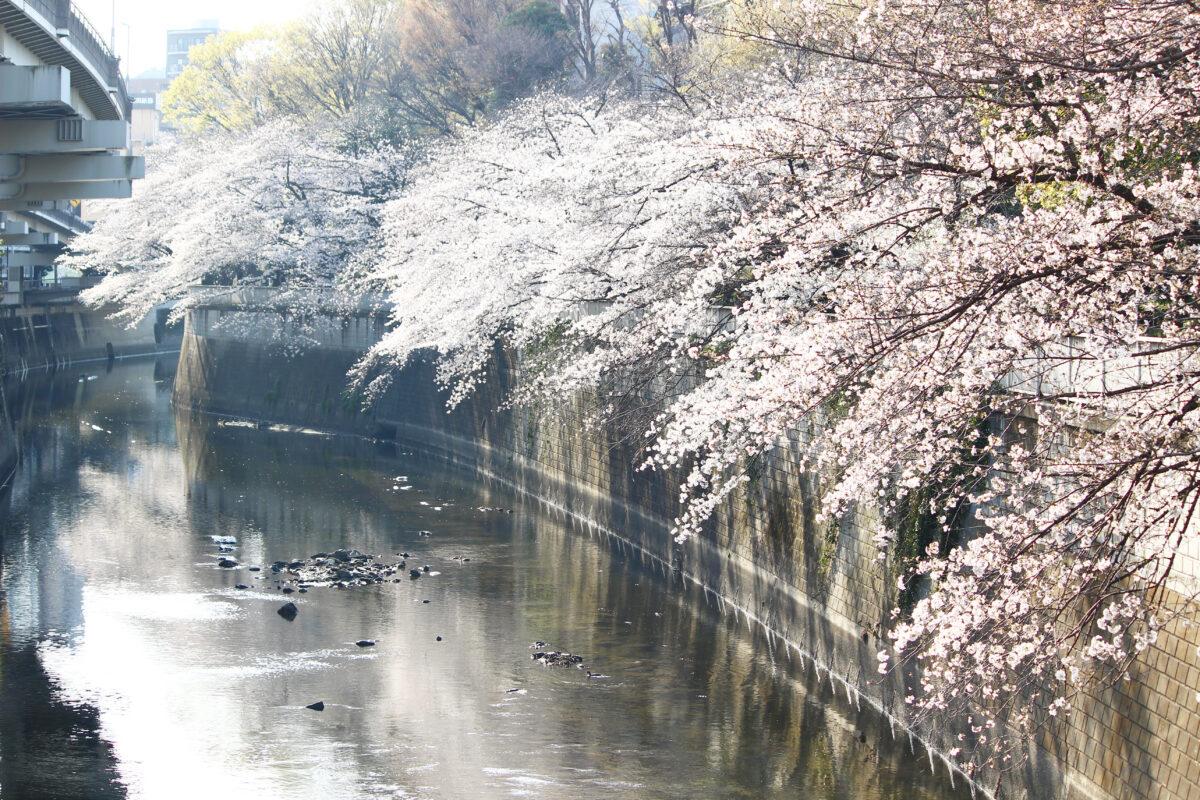江戸川公園は明治から続く桜の名所。川に覆いかぶさるように咲く桜は必見!