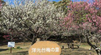 【洋光台梅の里まつり】絶妙のバランスで彩りが溶け合う紅梅と白梅