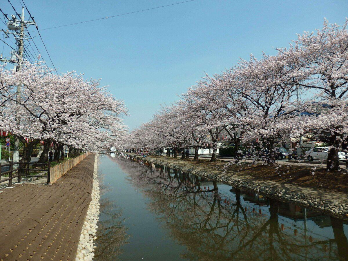 【草加桜まつり】日本三大農業用水に数えられる葛西用水に映り込む春の彩り