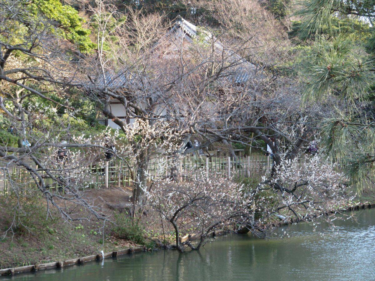 【三渓園観梅会】和の情緒を漂わせ重要文化財の古建築に溶け合う早春の花
