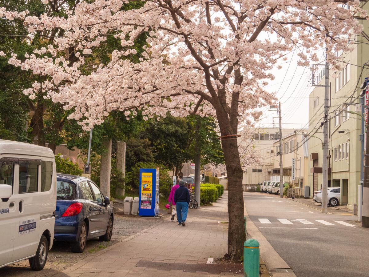 ねがた桜みち