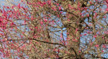 【牛天神紅梅まつり】濃淡の異なる紅色の花がバランスよく溶け合う北野神社