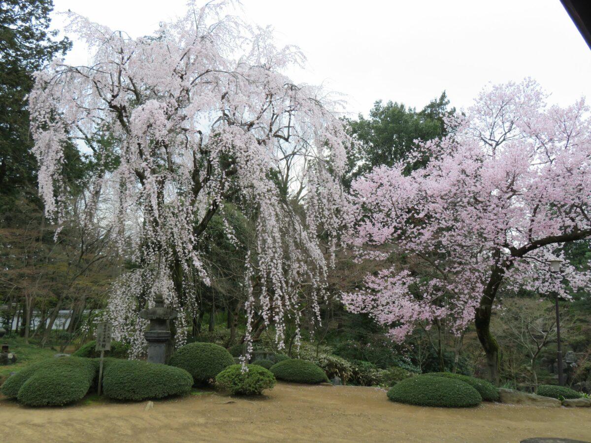 【川越大師喜多院の桜】江戸城を移築した客殿を彩る徳川家光お手植えの桜