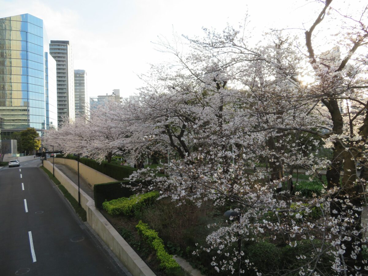 【東京ミッドタウンの桜】ガーデンアーチの下で緩やかな弧を描く薄紅色の花