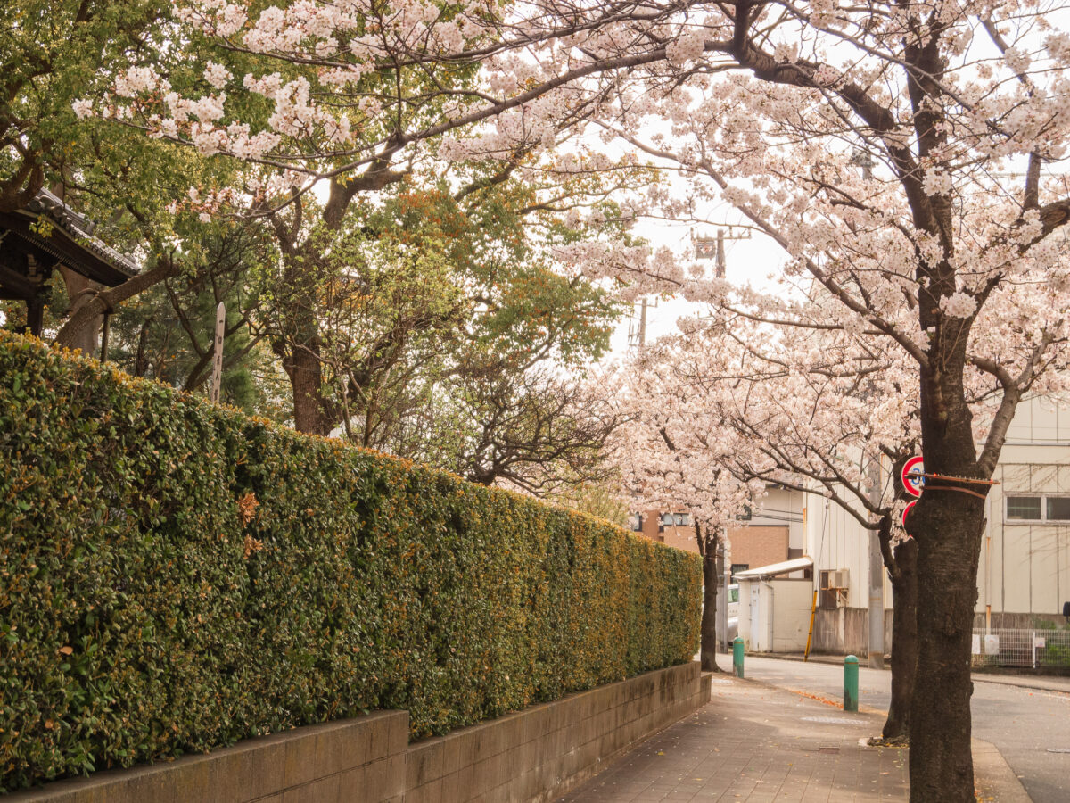 ねがた桜みち(林昌寺)