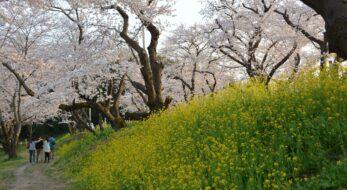 【北本城ケ谷堤の桜】菜の花と魅力的な彩りのコントラストを見せる桜