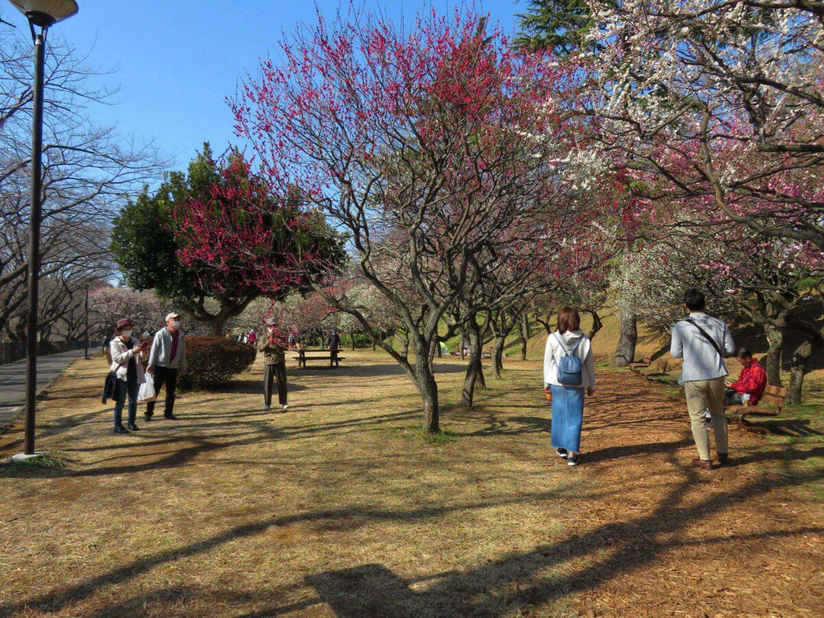 【保土ケ谷公園梅まつり】梅と河津桜が春の訪れを告げる神奈川初の都市公園