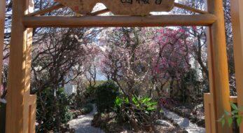 【小村井香取神社梅まつり】東武亀戸線沿線の下町に春の訪れを知らせる梅花