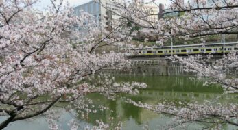 【総武線で車窓花見】飯田橋~市ケ谷で姿を消すことがない外濠沿いの桜