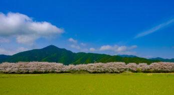 1000本の桜が5kmに及ぶ絶景!【加古川堤防の桜並木】は超穴場