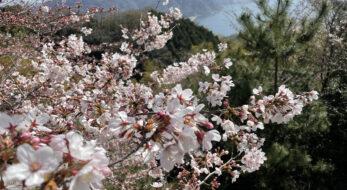【広島県呉市】春の「安芸灘とびしま海道」を桜ドライブ!現地レポート
