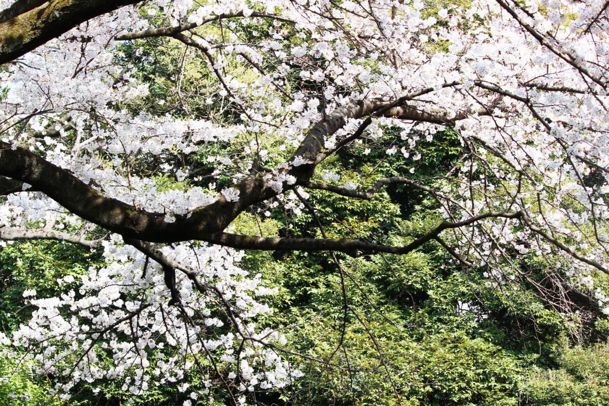 名主の滝公園、滝の名所を満開の桜が彩る。王子名物の玉子焼きも登場!?