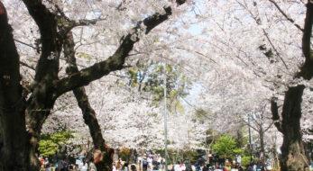 飛鳥山公園は日本で最初に公園指定された桜スポット!渋沢栄一の邸宅跡も