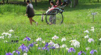 東村山菖蒲まつりが開催される北山公園の約10万本の花菖蒲は今が見頃!
