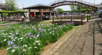 水郷潮来あやめまつりが開催中!約100万株の初夏の花の見頃時期は?