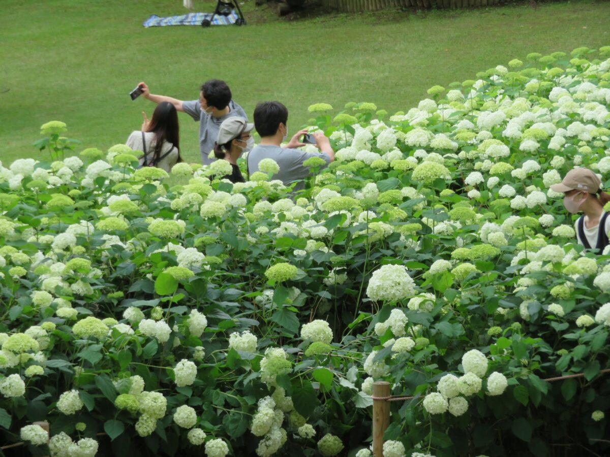 郷土の森あじさいまつりが開催中!約1万株の初夏の花は今が見頃!