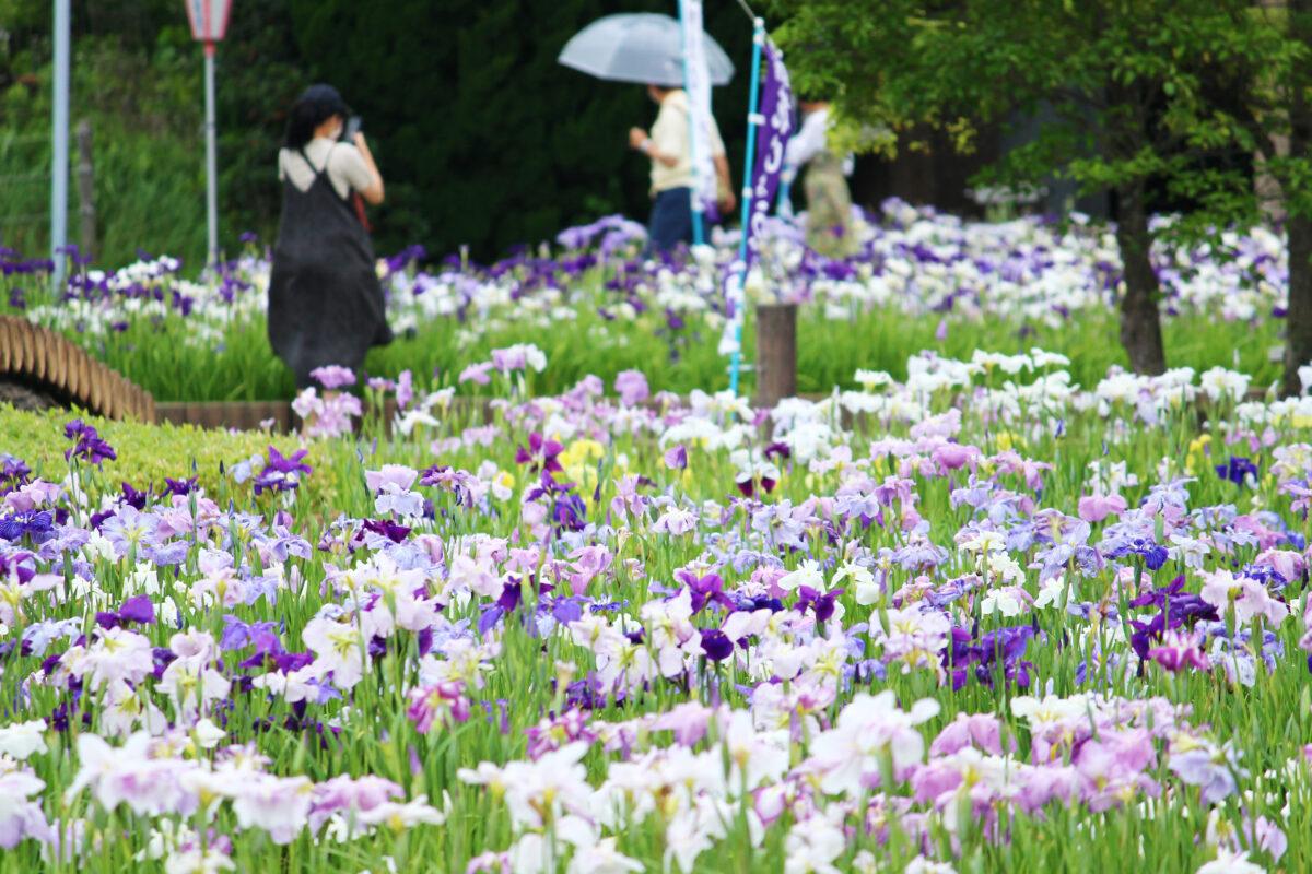 碧南市花しょうぶまつり2021!愛知県最大の自然湖沼「油ヶ渕」に咲き誇る花