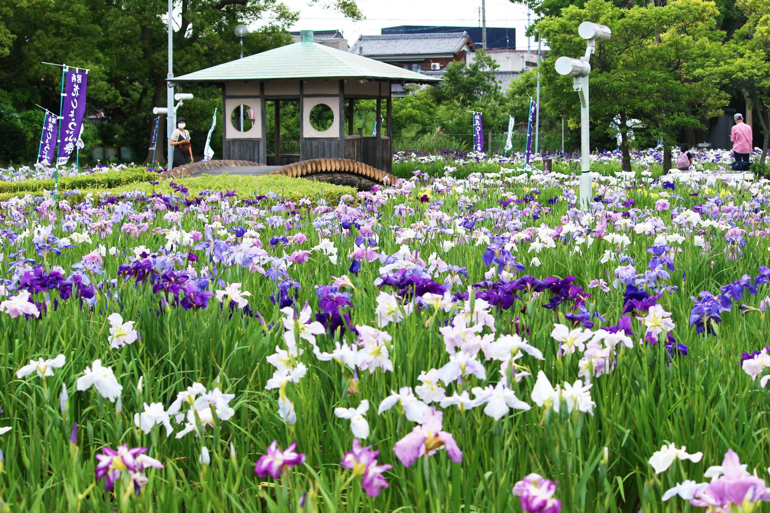碧南市花しょうぶ