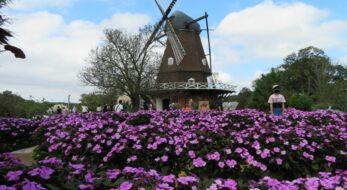 ふなばしアンデルセン公園コスモスまつりが開催中!風車やメルヘンの丘の秋化粧