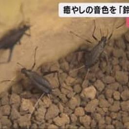 鈴虫の出荷始まる…徳島県鳴門市 傷つけないように「鳥の羽根」を使って飼育ケースに