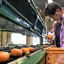 玉城町 「次郎柿」出荷始まる 糖度乗って大きい 三重