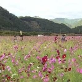 延岡市でコスモスが見ごろ 地元住民が休耕田を活用し育てる・宮崎県
