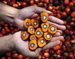fructe de palmier sectionate pe jumatate tinute in maini Il frutto dal quale si estrae l'olio di palma
