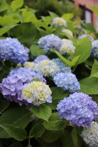 日進市の花 アジサイ(2)