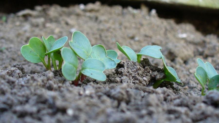 Pěstování ze semínka