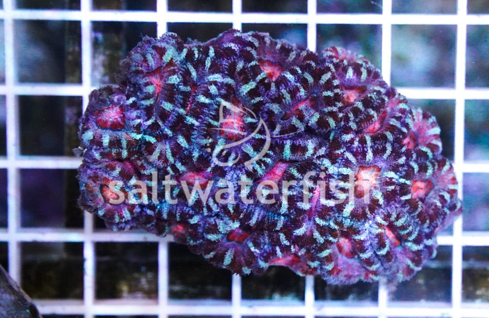 Acanthastrea Ultra Color
