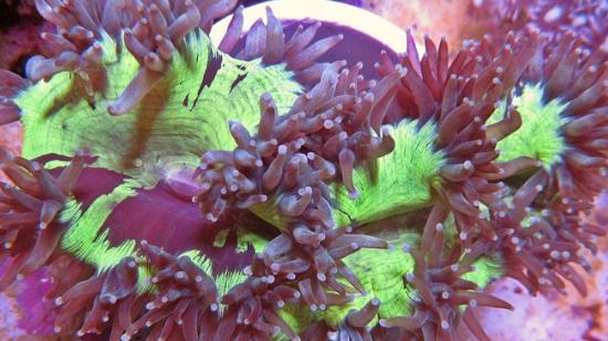 Elegance Coral: Purple Tip - Australia