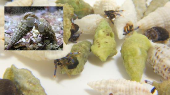 25 Blue Leg Hermit Crabs + 25 Cerith Snails
