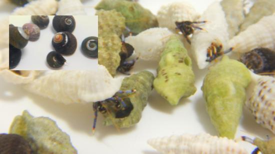 20 Blue Leg Hermit Crabs + 20 Margarita Snails