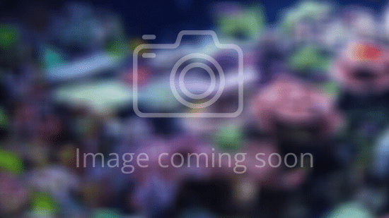 Rock Flower Anemone: Ultra