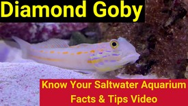https://storage.googleapis.com/swf_promo_images/education/diamond-goby-thumbnail.jpg