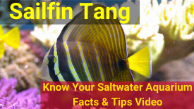 https://storage.googleapis.com/swf_promo_images/education/sailfin-tang-small.png