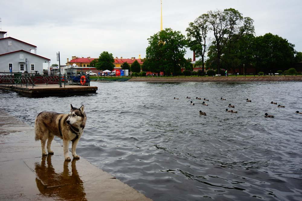 네바 강 근처에서 만난 시베리안 허스키. 러시아에서 만나면 뭔가 색다르다.